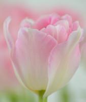 Тюльпан Angelique (5 луковиц)
