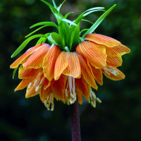 Луковицы рябчика Fritillaria Striped Beauty