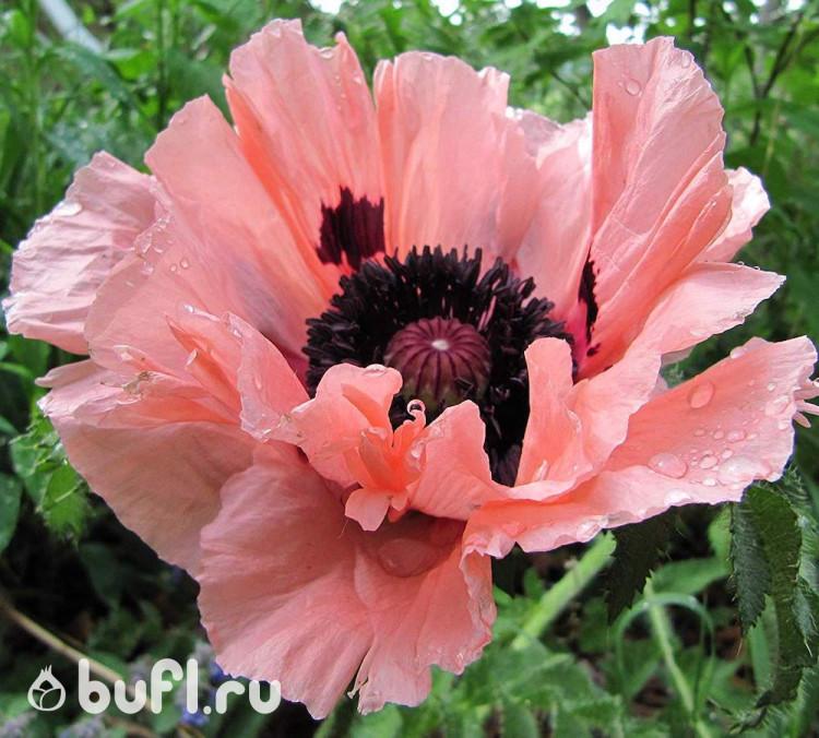 ползунок, расположенный садовые маки фото коротко отвечает