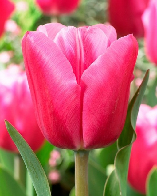 джамбо пинк тюльпан фото варианты